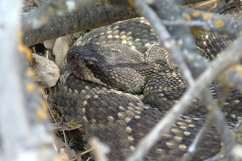 Muir's evolution on snakes