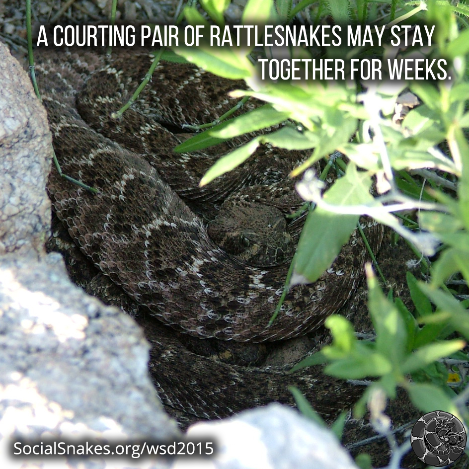 Courting rattlesnakes may stay together for weeks.