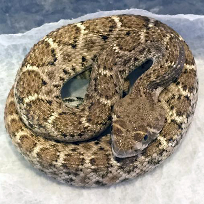 Baby western diamondback rattlesnake recently removed from glue trap with injured jaw.