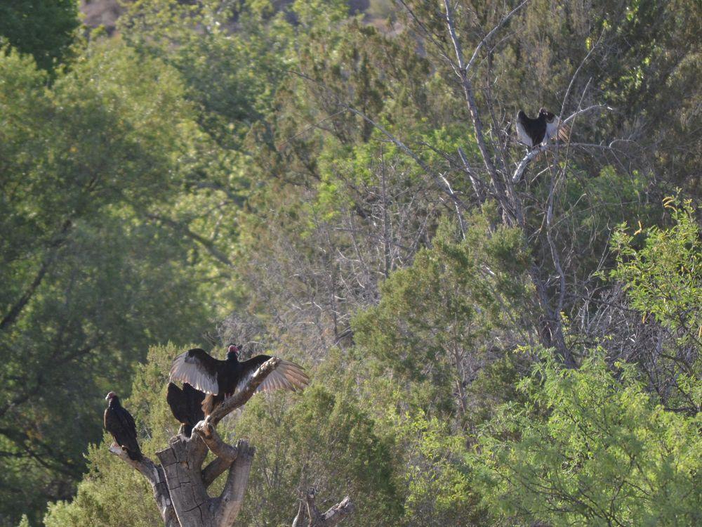 Turkey vultures, Bass Canyon, 2013.