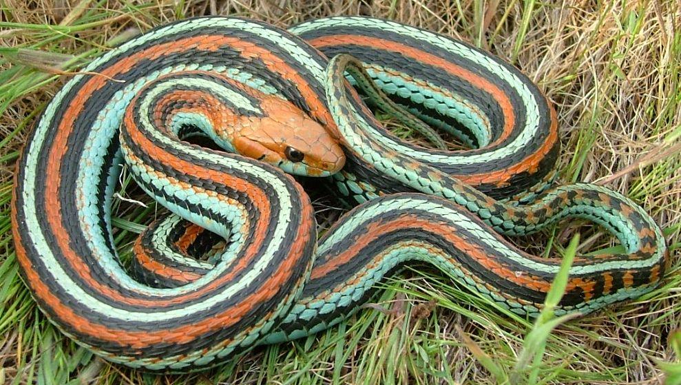 San Francisco gartersnake (hHamnophis sirtalis)